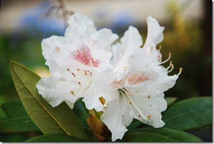 7 Hvid rhododendron