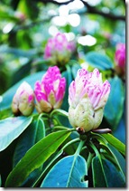 Rhododendron Erica